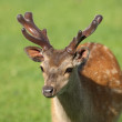 Stock Photo: Young male Fallow Deer
