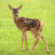 Stock Photo: Baby Fallow Deer