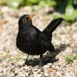 Blackbird — Stock Photo #31819629