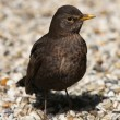 Stock Photo: Blackbird