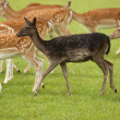 Stock Photo: Black Fallow Deer in herd