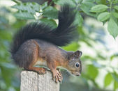 Squirrels look like cute little animals. — Stock Photo