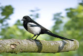 Bird Black-billed Magpie is a scavenger. — Stock Photo