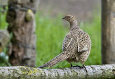 Bird Common Pheasant female, hens which we like to hunt. — Stock Photo