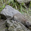 Постер, плакат: The Brown rat is also to be bred as pets
