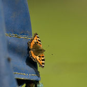 Orange Butterfly with black and yellow spots on the forewing. — Stock Photo