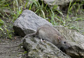 The Brown rat is also to be bred as pets. — 图库照片