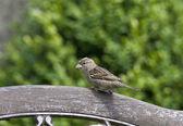 Vogel der Haussperling ist wieder auf dem Vormarsch! — Stockfoto