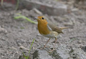 Bird European Robin has a bright red breast in the Sun. — Stock Photo