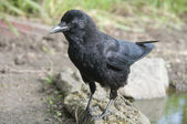 Bird The Carrion Crow is looking out on a pole. — Stock Photo