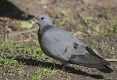 The Curious stock pigeon is a cereal Eater which usually only occurs in the forest. — Stock Photo