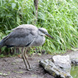 Постер, плакат: Bird the grey heron is a common tern