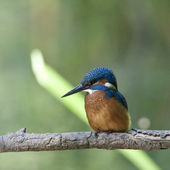 Bird The Kingfisher is a water loving bird. — Stock Photo