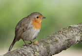 Ird European Robin has a bright red breast in the Sun. — Stock Photo
