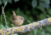 Bird Winter Wren a tiny little bird with the tail straight up. — Stock Photo