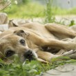 Dying dog on the grass — Stock Photo #12890670