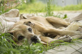 Dying dog on the grass — Stock Photo