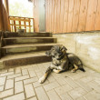 Dog guarding house near stairway — Stock Photo #28507583