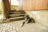 Dog guarding house near stairway — Stock Photo