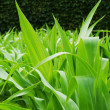 Corn stems — Stockfoto