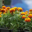 Marigolds — Stock Photo #32055489