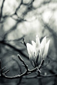 Black and white magnolia — Stock Photo