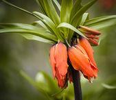Fritillaria imperialis 'Aurora' — Stock Photo