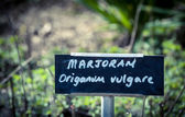 Wild marjoran — Stock Photo