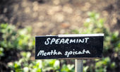 Spearmint — Stock Photo