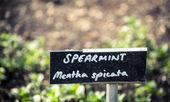 Spearmint — Stock Photo