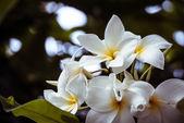 Plumeria Frangipani — Stock Photo