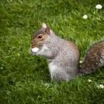 ������, ������: Peckish squirrel