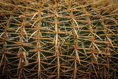 Cactus close-up — Stock Photo