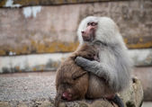 Família de babuíno — Fotografia Stock