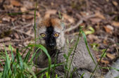 Red-fronted lemur — Stock Photo