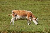 Cow in meadow — Stock Photo