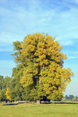 Autumn poplar tree — Stock Photo