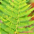 Fern bracken leaves — Stock Photo