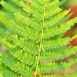Fern bracken leaves — Stock Photo #14275129