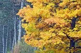 Lindo carvalho no parque outono — Fotografia Stock