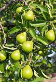在树枝上的绿色梨子 — 图库照片