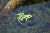 Frog in the pond — Stock Photo