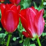Tulip flowerbed — Stock Photo #20094963