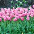 Tulip flowerbed — Stock Photo