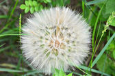 Close-up of dandelion seed — Stock Photo