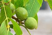 Walnut tree (Juglans regia) with fruit — Stock Photo