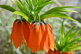 Fritillaria imperialis — Stock Photo