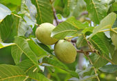 Walnut tree (Juglans regia) with fruit — Stock Photo
