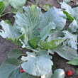 Green cabbage (Brassica oleracea) in garden — Stock Photo