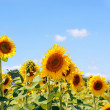 Sunflower (Helianthus) — Stock Photo #29814115